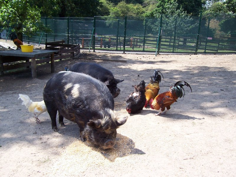 Pigs and hens in Maryon Wilson Park